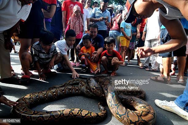 Children play with pythons as python collectors gather in Surakarta Central Java Indonesia on January 05 2014