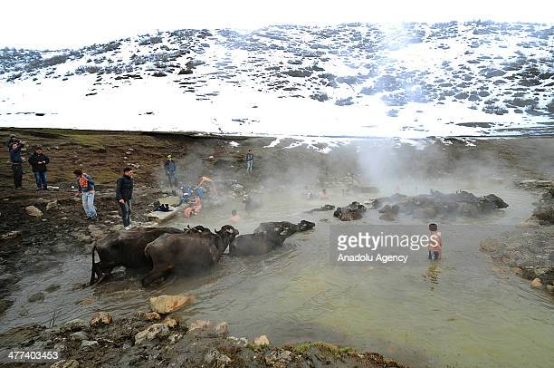 Children shepherds and buffaloes take bath in the healing water of 40 celcius in Budakli village of Bitlis Turkey on March 1 2014 Village public and...