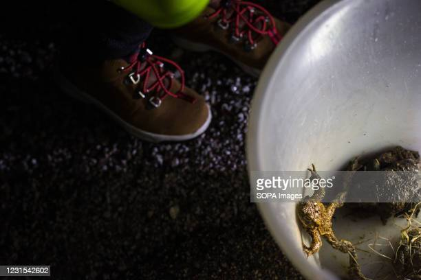 Children shine a light on a bucket containing toads that are ready to be carried across the road during an action for protection of migrating...