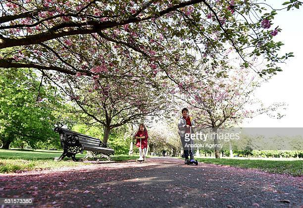 Children skate under the last of the seasons Cherry Blossom at Greenwich Park in London United Kingdom on May 15 2016