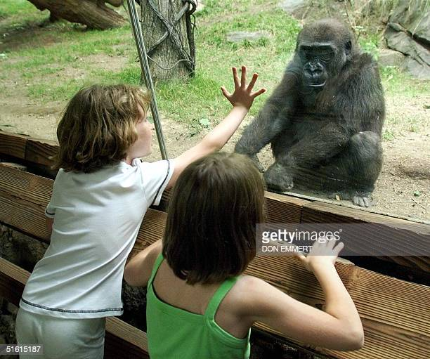 Children visiting the Congo Gorilla Forest at the Bronx Zoo touch the window that separates them from a Western Lowland Gorilla 25 June in New York...