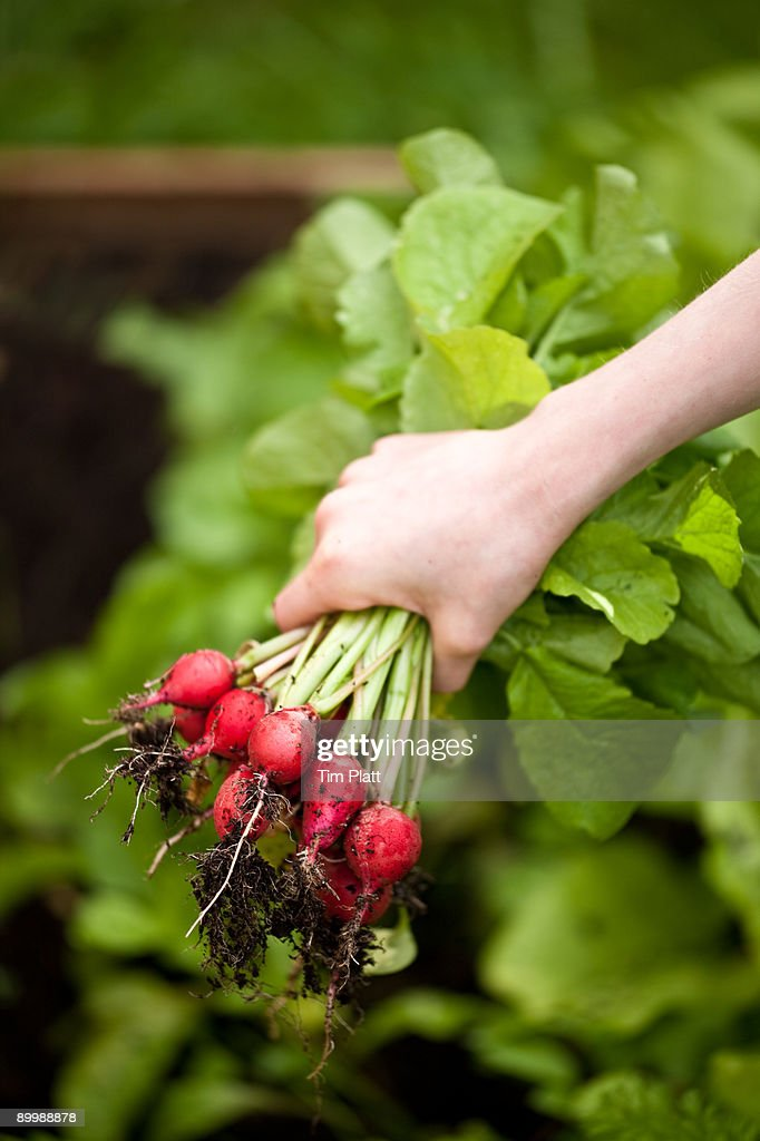 Child's hand holding bunch of fresh radishes. : Stock Photo
