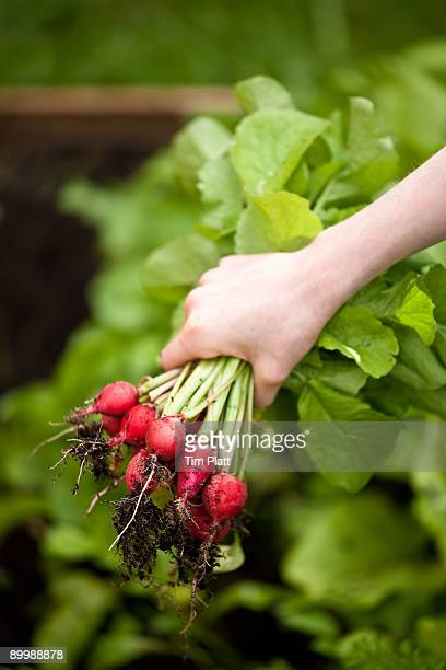 Child's hand holding bunch of fresh radishes.