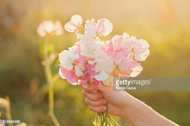 Child's hand, holding summer sweet pea flowers