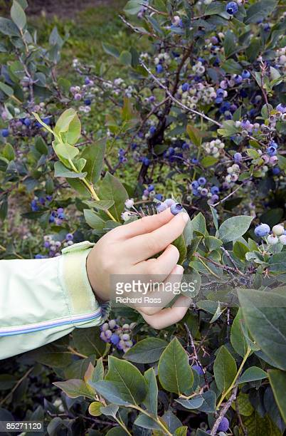 A child's hand reaching for a blueberry