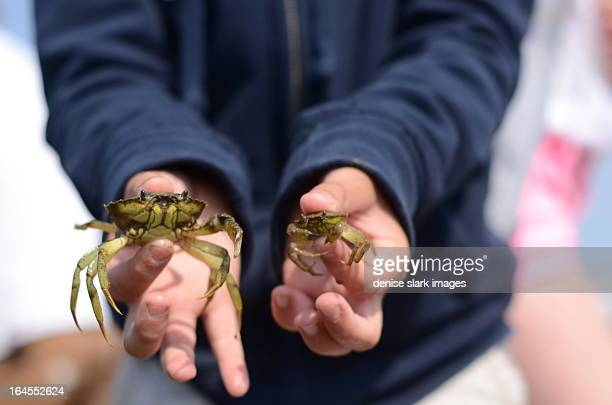 childs hands holding two crabs