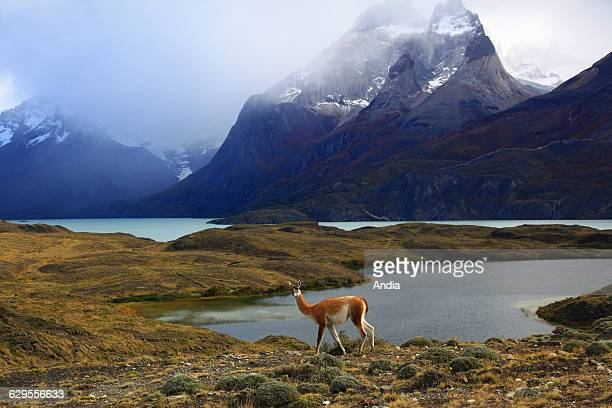 Chile Guanaco by the lac Nordeljkold Lake in the Torres del Paine National Park between the Andes mountain range and the Patagonian steppe