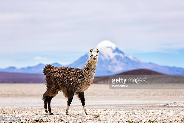 chile, lama, lama glama, standing in the atacama desert - chile stock pictures, royalty-free photos & images