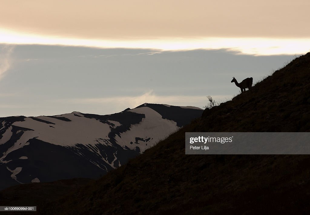 Chile, Patagonia, Torres del Paine, Guanacos (Lama guanicoe) standing on hillside : Stockfoto