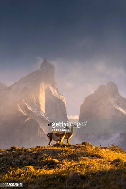 chile, patagonia, torres del paine national park - argentina stock pictures, royalty-free photos & images