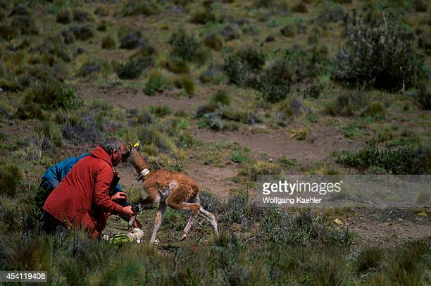 Chile Torres Del Paine Nat'l Park Guanacos Newborn Being Tagged By Scientists From Uiowa