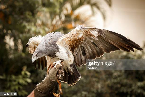 chilean blue eagle landing on falconer's hand - hawk bird stock photos and pictures