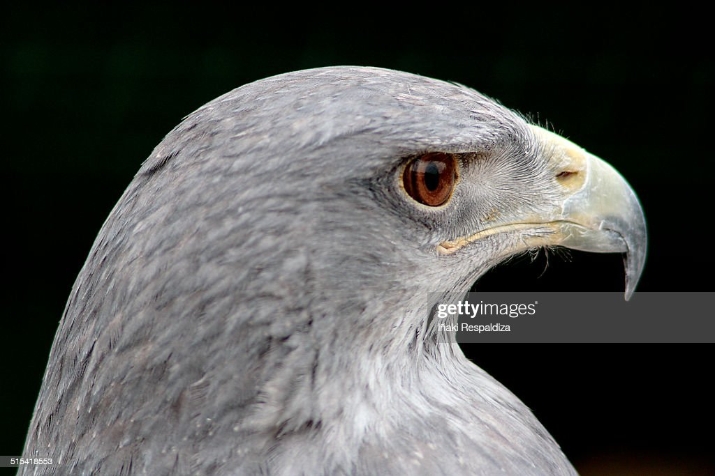 Chilean blue eagle : Foto de stock