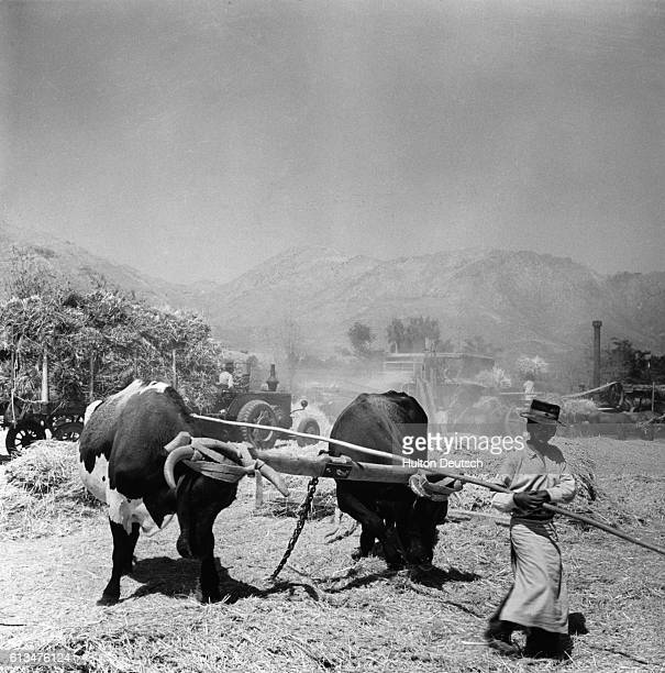 A Chilean boy guides the oxen to dragging off the chaff from a wheat threshing machine