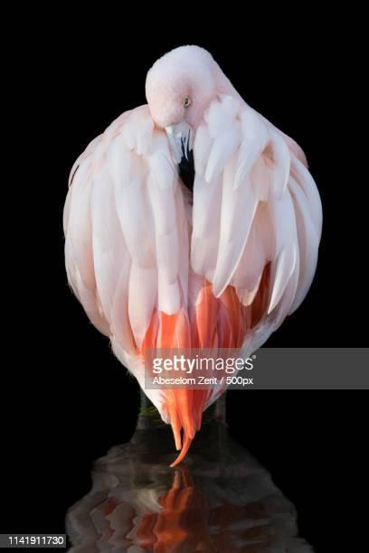 chilean flamingo - flamingo stockfoto's en -beelden