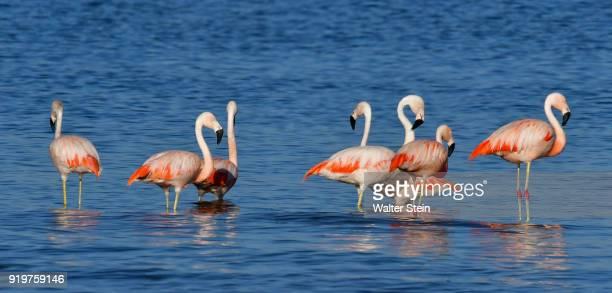 chilean flamingo #01 - cordoba argentina stock photos and pictures