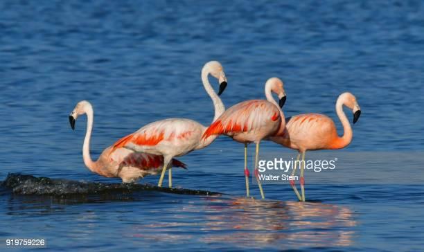 chilean flamingo #02 - cordoba argentina stock photos and pictures