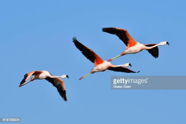 chilean flamingo #03 - cordoba argentina stock photos and pictures