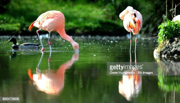 Chilean Flamingos get to finally enjoy the sunshine today at Washington Wetlands centre in Sunderland
