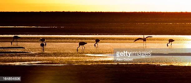 chilean flamingos on the laguna chaxa. - alex saberi stock pictures, royalty-free photos & images