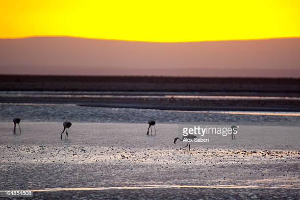 chilean flamingos on the laguna chaxa. - alex saberi stockfoto's en -beelden
