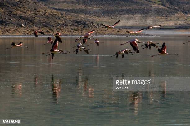 Chilean Flamingos Phoenicopterus chilensis at Laguna Amarga at Torres del Paine National Park Chile a UNESCO World Biosphere Reserve since 1978