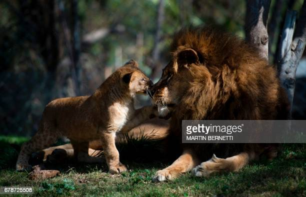 A Chilean lion named Maucho greets one of his cubs in the Buin zoo 40 km south of Santiago on May 4 2017 Surgery to reverse the lion's vasectomy made...