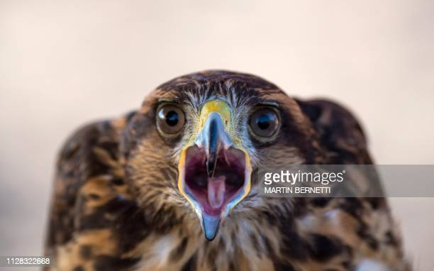 Chilean paraglider Ariel Marinkovic's flight partner a tenmonthold Harris' hawk is pictured during a training session in Santiago on January 05 2019...