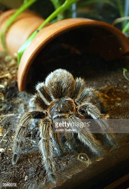 Chilean Rose tarantula is seen at the San Francisco Zoo June 13 2003 in San Francisco The recent epidemic of Monkeypox in the US which was linked to...