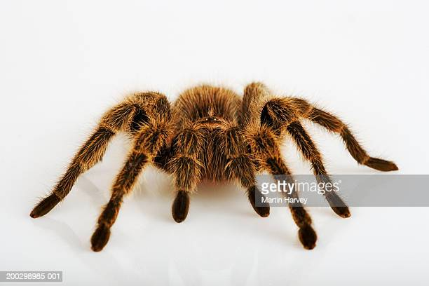 chilean rose tarantula (grammostola rosea) - spider stock pictures, royalty-free photos & images