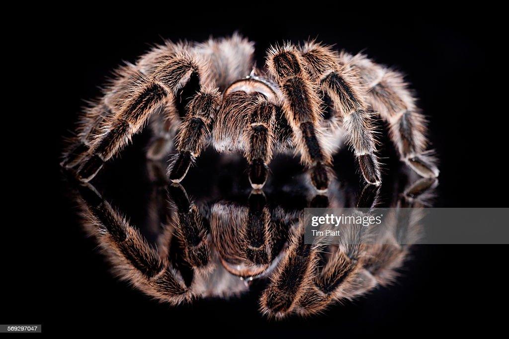 Chilean rose tarantula : Stock Photo