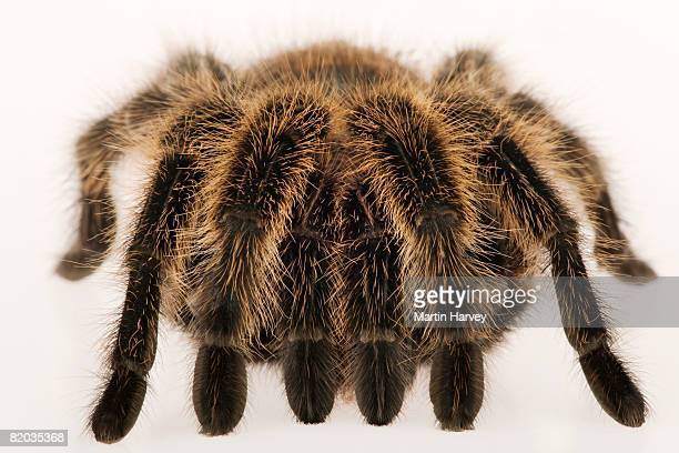 chilean rose tarantula. - ugly spiders stock photos and pictures