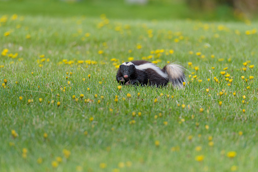 chilean skunk or mofeta walking on the grass 1247886074