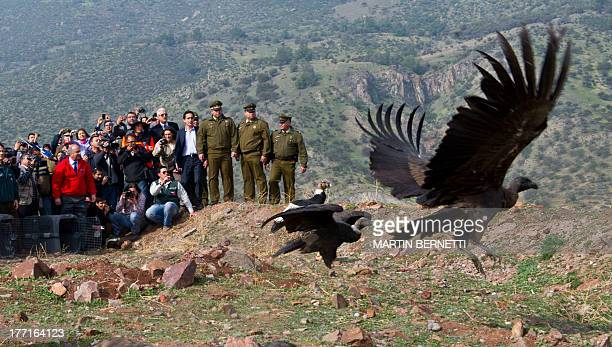 Chile's Agriculture Ministry personnel release 18 condors that were treated at the zoo for eleven days after they were found intoxicated with cattle...