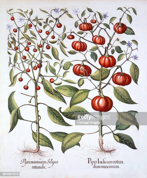 Chili Pepper [Nightshade Family] from 'Hortus Eystettensis' by Basil Besler pub 1613 I Piper Indicum rotun dum maximum II Piper minimum Siliguis...