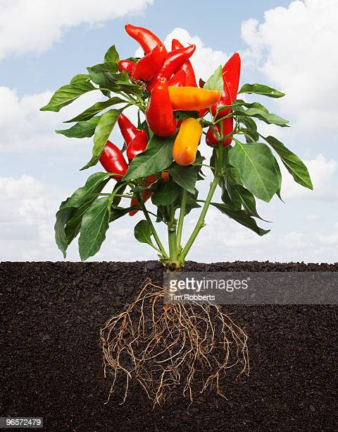 chili pepper plant growing in soil with roots. - root stock pictures, royalty-free photos & images