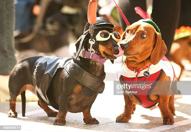 Chilli dressed as a biker dog licks Bangers as they compete in the Hophaus Southgate Inaugural Best Dressed Dachshund competition on September 19...