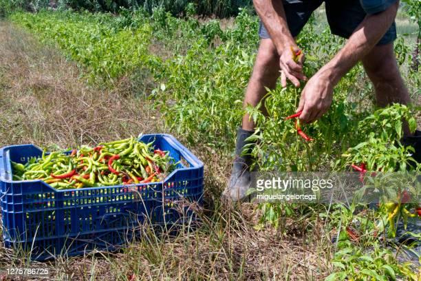 chilli field - harvesting the fruit - miguelangelortega fotografías e imágenes de stock