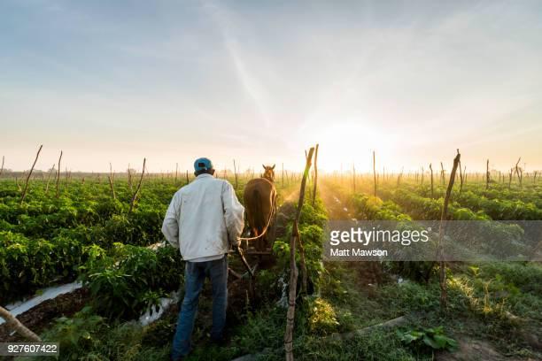chilli fields in sinaloa mexico - mexico chile fotografías e imágenes de stock