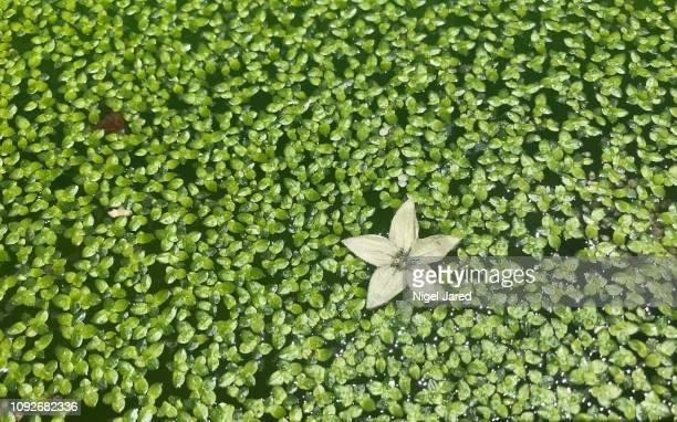 chilli flower in duckweed 1 - pianta acquatica foto e immagini stock