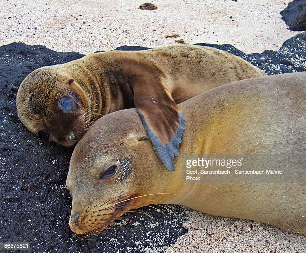chillin with mom - seal pup stock photos and pictures