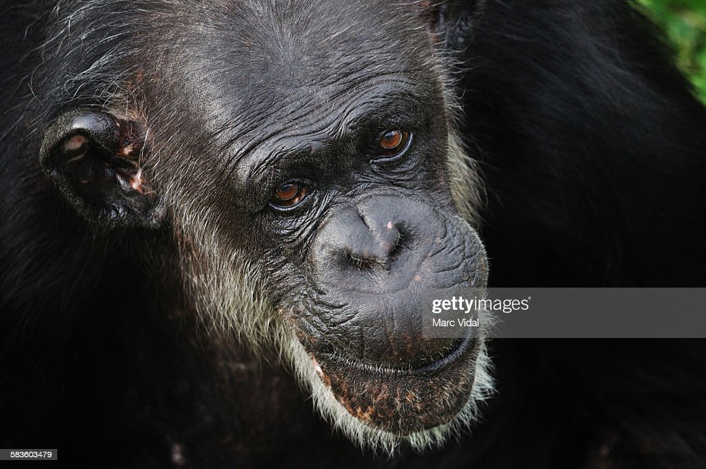 Chimp portrait : Stock Photo