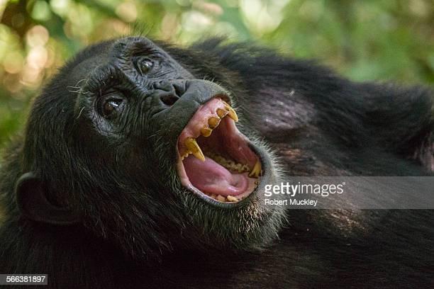 chimp yawning - chimpanzee teeth stock pictures, royalty-free photos & images