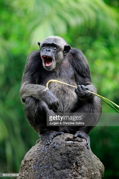 Chimpanzee (Pan troglodytes troglodytes), adult female, calling, sitting on rock, calling, captive, occurrences middle Africa