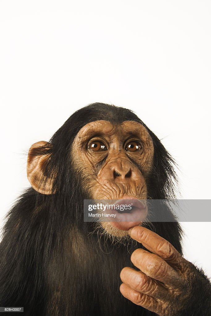 Chimpanzee against white background. : Stock Photo