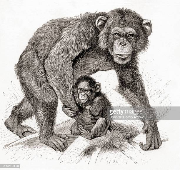 A chimpanzee and its baby From Meyers Lexicon published 1924