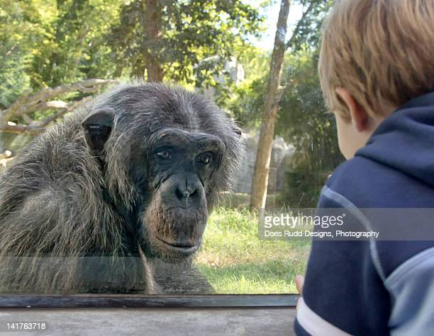 chimpanzee and little boy at zoo - zoo stock pictures, royalty-free photos & images