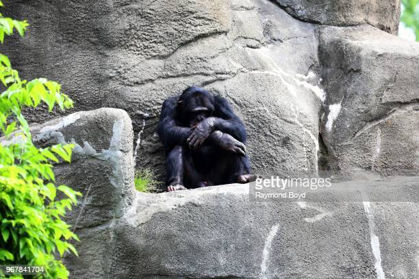 Chimpanzee at the Detroit Zoo in Royal Oak Michigan on May 26 2018