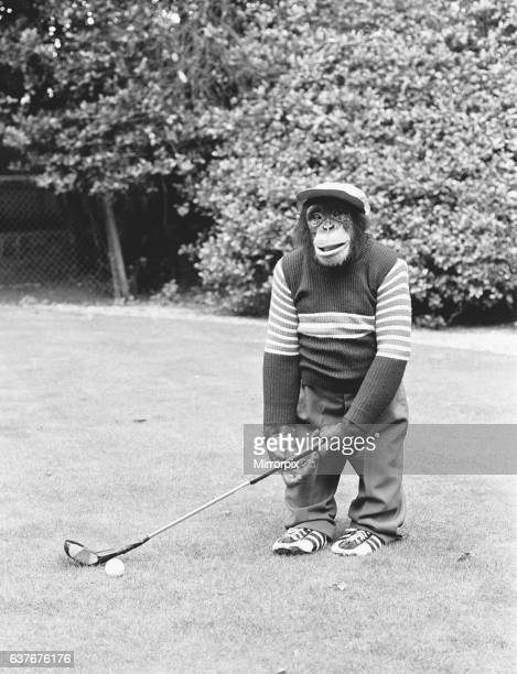 A Chimpanzee at Twycross Zoo playing a round of golf 10th September 1980