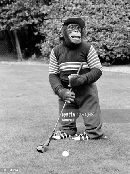 Chimpanzee at Twycross Zoo playing a round of golf. 10th September 1980.